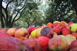سیبهای تنظیم بازاری در حال فاسد شدن هستند!