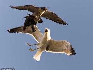 عکس/ جنگ دیدنی مرغ دریایی و شاهین در آسمان