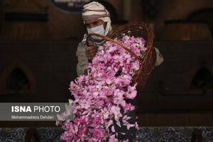 عکس/ فصل گل و گلاب در فراق گردشگر