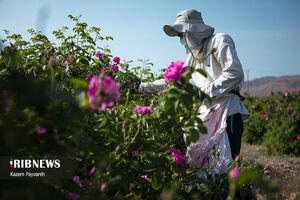 عکس/ گلابگیری و عطر بهشت در کاشان