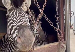 تلف شدن یک رأس گورخر نرِ آفریقایی در باغ وحش صفادشت