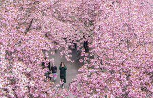 عکس/ شکوفههای گیلاس در آلمان