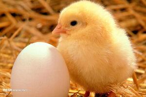 هشدار درباره وضعیت تولید تخممرغ