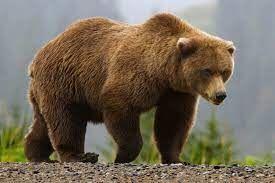 خرس های قهوه ای در جنگل گلستان+ فیلم