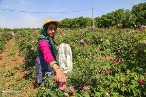 عکس/ برداشت گل محمدی را دیدهاید؟