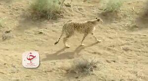 فیلم/ یوزپلنگ ایرانی در پارک ملی توران