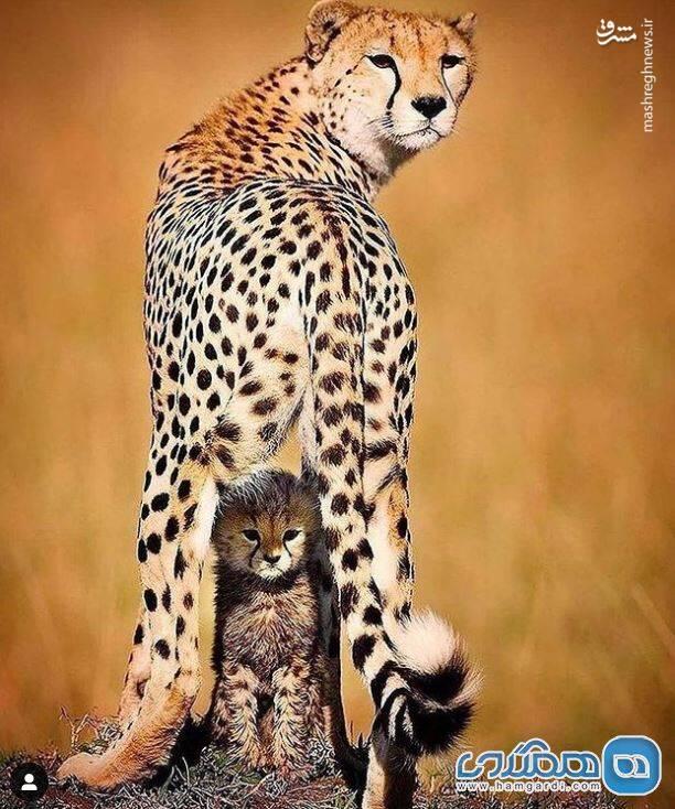 تصویری زیبا از یوزپلنگ و تولهاش