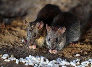 فیلم/ هجوم میلیونی موشها