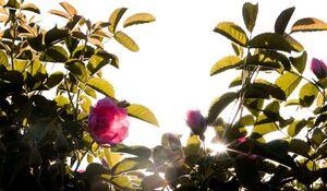 فیلم| سفری از گل تا گلاب، اینجا قمصر خراسان است