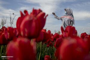 تصاویر دیدنی از مزرعه لاله در تبریز