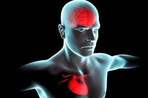 قلب سالمتر موجب عملکرد بهتر مغز میشود