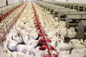 از تولید مازاد و صادرات مرغ به صف مرغ رسیدیم
