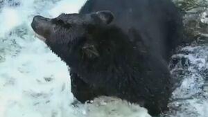 نجات خرس قهوهای نابینا +فیلم