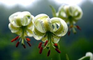 عکس/ شکوفایی نادرترین گل جهان در گیلان