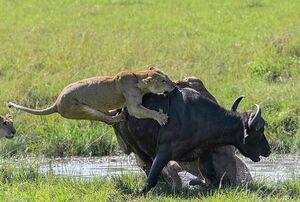 عکس/ نبرد دیدنی شیرها با یک بوفالو