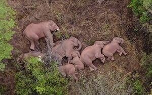 عکس/ خواب دسته جمعی فیلها