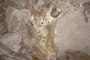 عکس/ مرگ پلنگ ایران در آتشسوزی کوه حاتم