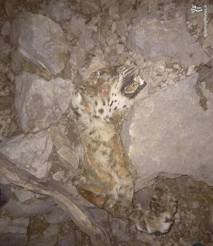 تصویری از لاشه یک قلاده پلنگ ایرانی از طرف دوستداران محیط زیست در شبکههای اجتماعی منتشر شده که نگران کننده است.