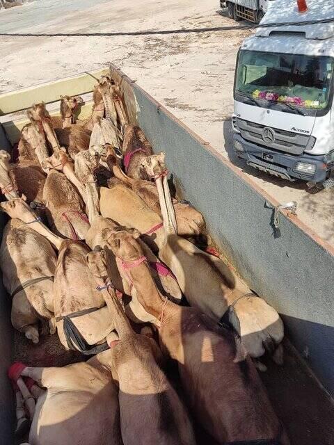 سر و کله شتران قطری در گمرک ایران پیدا شد!+عکس