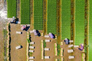 تصویر هوایی زیبا از شالیزار برنج
