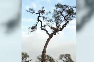 فیلم/ حرکت هوشمندانه یک میمون برای شکست پلنگ