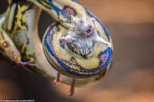 عکس/ لحظه بلعیده شدن موش زنده توسط مار