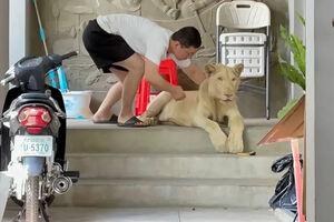 عکس/ کشف یک توله شیر از یک منزل مسکونی