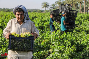 عکس/ فصل برداشت انگور در اهواز