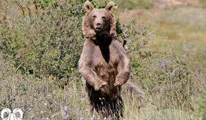 فیلم/ تصویربرداری از گونه ارزشمند خرس قهوهای درجنوب کشور