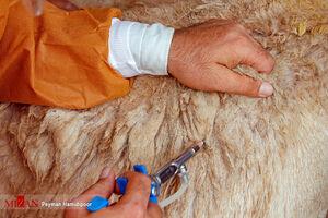 عکس/ واکسیناسیون دامهای عشایر در خراسان شمالی