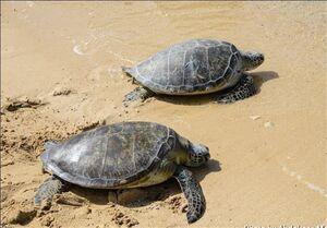 کمک به لاکپشت گرفتار در ساحل بوشهر+ فیلم