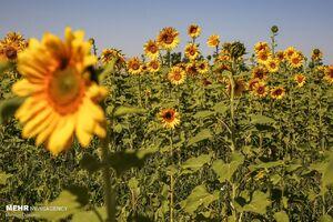 عکس/ مزرعه آفتابگردان را ببینید