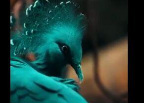 این کبوتر داره منقرض میشه+ فیلم