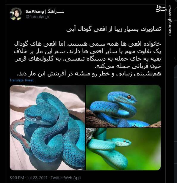 افعی گودال آبی+ تصاویر
