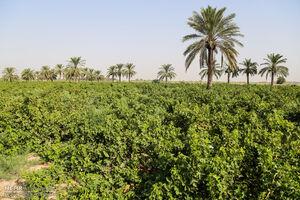 آب آلوده نخیلات خوزستان را نابود کرده است
