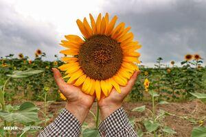 عکس/ عطر گلهای آفتابگردان در دشتهای مازندران