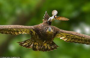 عکس/ سواری گرفتن از عقاب
