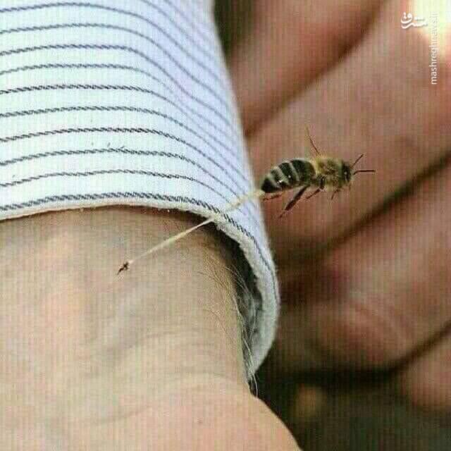 دلیل مرگ زنبور عسل پس از نیش زدن