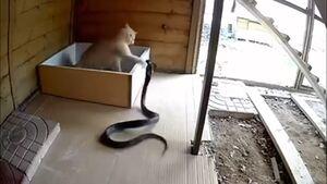 تقابل یک مار کبری با گربه شجاع +فیلم