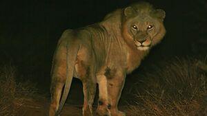 فیلم/ لحظه مواجهه وحشتناک یک مرد با شیری که در منزلش پنهان شده بود