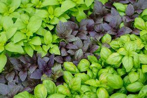 فواید یک گیاه معطر در تقویت سیستم ایمنی بدن