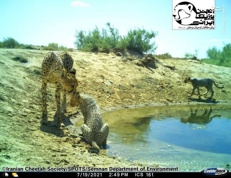 نجات نسل یوزپلنگ ایرانی توسط خانم تلخاب+ عکس