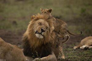 خشم شیر نر از بازیگوشی بچهاش! +عکس
