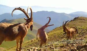 ثبت تنوع بینظیر حیات وحش پارک ملی کیاسر در قاب دوربین +فیلم