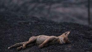 تصویری غمانگیز از حیوان سوخته در آتشسوزی