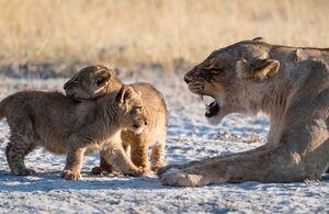 عکس/ توبیخ توله شیرها توسط والد مادر