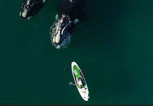عکس/ نزدیک شدن دو وال عظیم الجثه به یک قایق