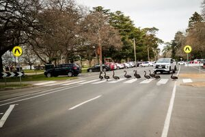 عکس/ رژه قوها در خیابان