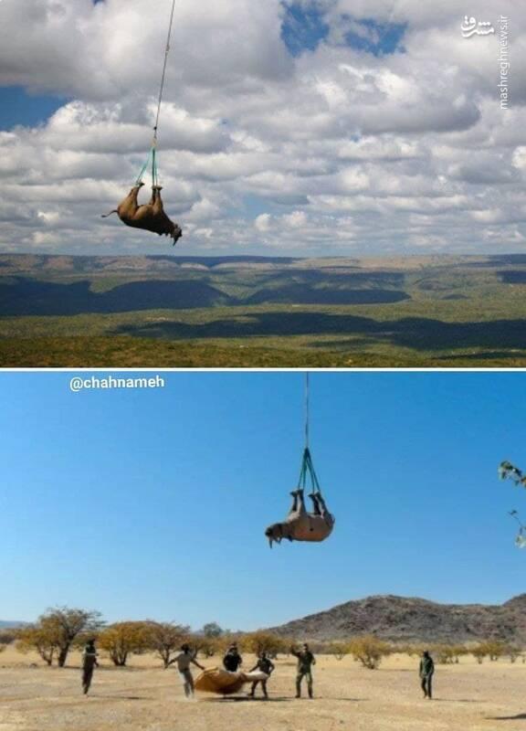 وقتی کرگردنها پرواز میکنند! +عکس