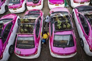 تاکسیهای بلااستفاده به باغ سبزيجات تبدیل شدند